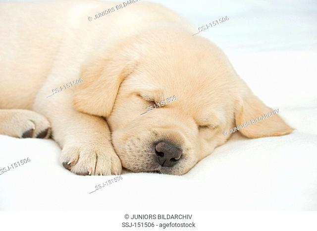 Labrador Retriever dog - puppy - sleeping restrictions: animal guidebooks, calendars