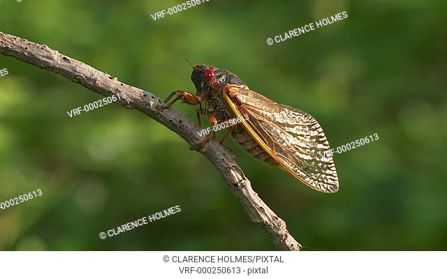 An adult male 17-year periodical cicada (Magicicada septendecim) clings to a twig after emerging from its 17 year underground nymphal stage