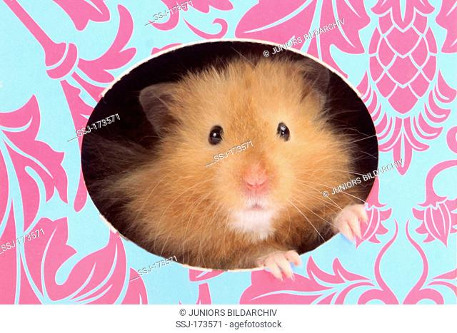 Pet Hamster, Teddy Bear Hamster (Mesocricetus auratus). Adult looking out from a colourful card box