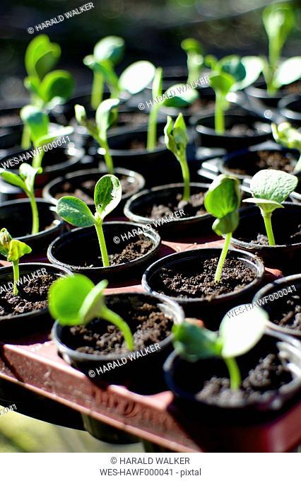 Squash seedlings in flower pots