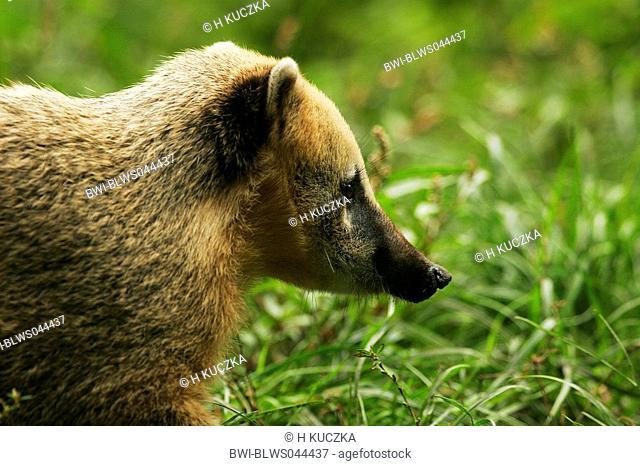 coatimundi, common coati, brown-nosed coati Nasua nasua, sidewiew of the head