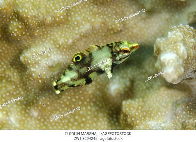 Juvenile Checkerboard Wrasse (Halichoeres hortulanus) on coral, Bulakan dive site, Seraya, near Tulamben, Bali, Indonesia
