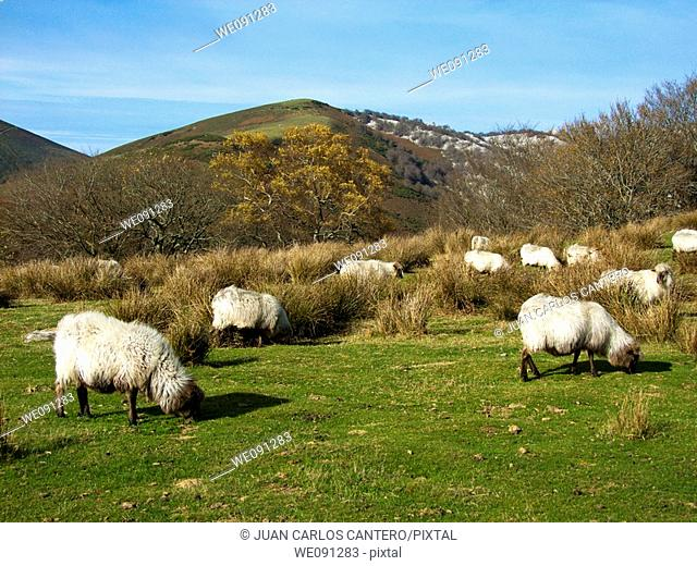 Flock of sheep in the Gorbea Natural Park. Alava. Basque Country. Spain