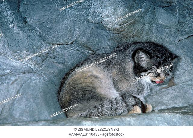 Pallas Cat (Felis manul) E. Caspian Sea to C. Asia