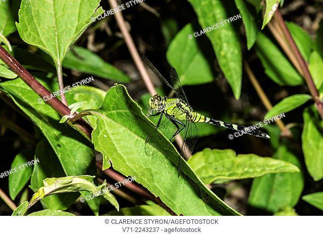 Eastern Pondhawk Dragonfly (Erythmis simplicicollis) Hunting from Leaf