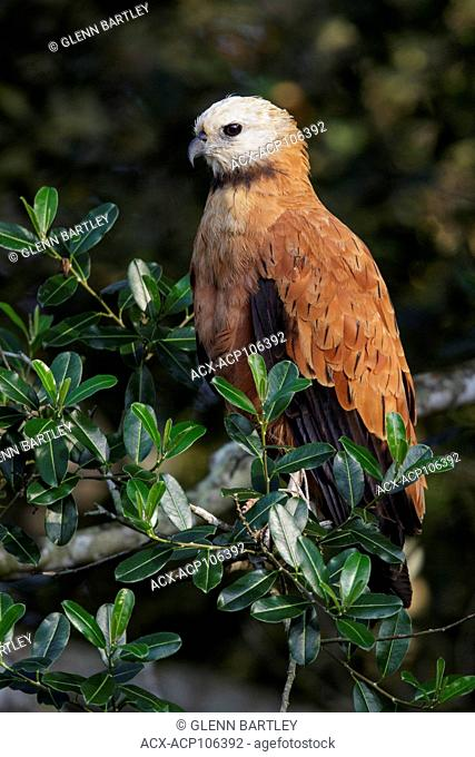 Black-collared Hawk (Busarellus nigricollis) perched on a branch in the Pantanal region of Brazil