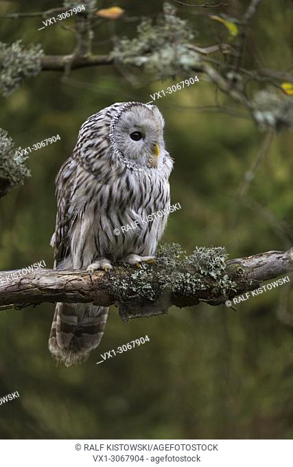 Ural Owl ( Strix uralensis ) perched on its favorite place on a branch of an old tree, autumnal colors, Europe
