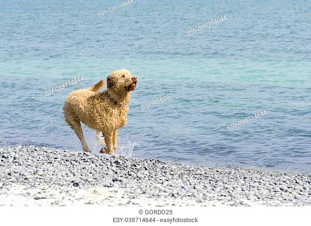 Selective focus on the labradoodle waiting for the ball at the beach