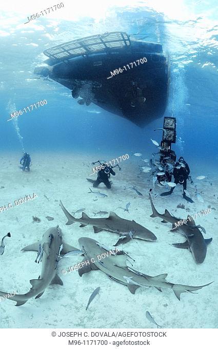 Lemoan sharks circle near food and divers, Bahama Bank, Caribbean