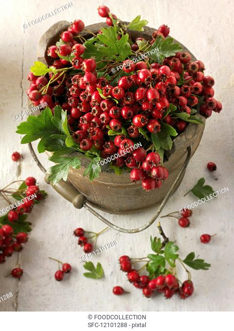 Freshly picked hawthorn berries in an old bucket