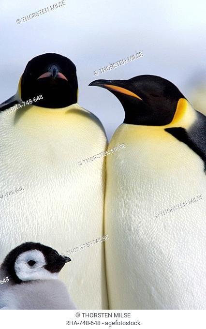 Emperor penguins Aptenodytes forsteri, Snow Hill Island, Weddell Sea, Antarctica, Polar Regions