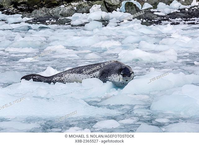 Adult leopard seal, Hydrurga leptonyx, hauled out on ice at Elephant Island, South Shetland Islands, Antarctica