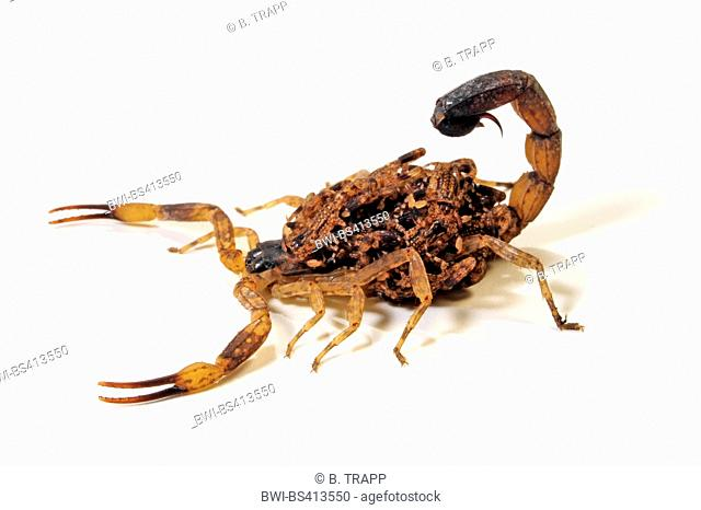 Bark scorpion babies back Stock Photos and Images | age