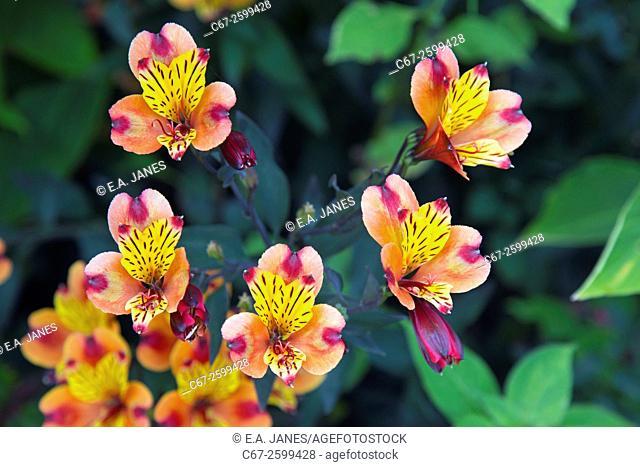 Peruvian Lily Indian Summer Alstroemeria