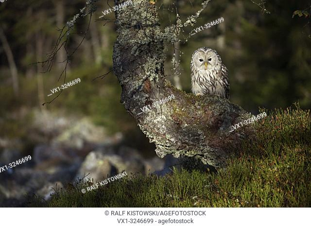Ural Owl / Habichtskauz ( Strix uralensis ) perched in an old tree at the edge of a boreal forest, nice surrounding, early morning sunlight.