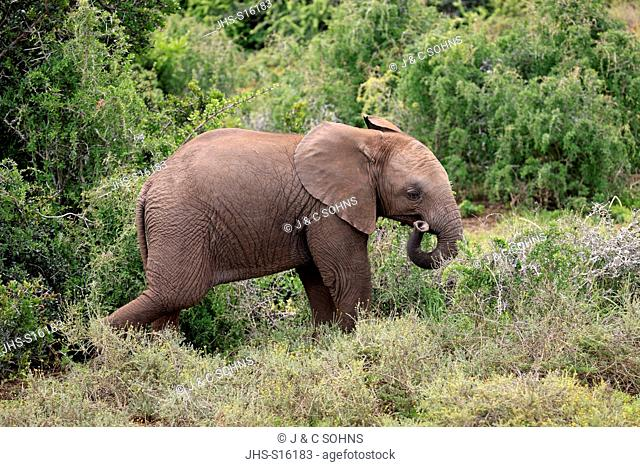 African Elephant, (Loxodonta africana), young walking, Addo Elephant Nationalpark, Eastern Cape, South Africa, Africa
