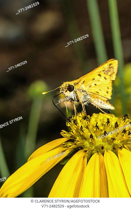 Fiery Skipper Butterfly (Hylephilus phyleus) Feeding on Cutleaf Daisy (Engelmannia peristenia) Flower