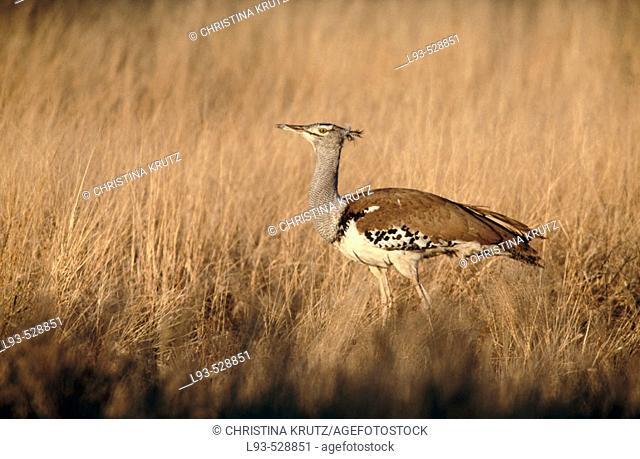 Kori Bustard (Ardeotis kori). Kgalagadi Transfrontier Park, South Africa