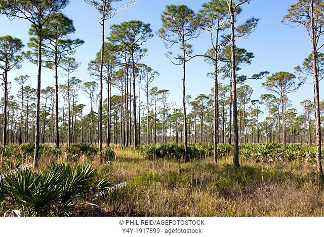 Pine flatwoods  Jonathan Dickenson State Park, Florida, USA