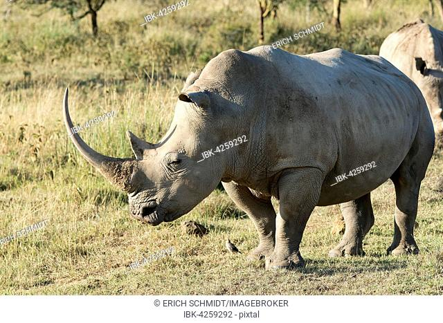 White rhinoceros or square-lipped rhinoceros (Ceratotherium simum), Lake Nakuru National Park, Kenya