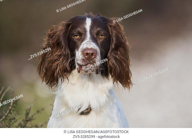 Portrait of a English Springer Spaniel Dog-Canis lupus familiaris