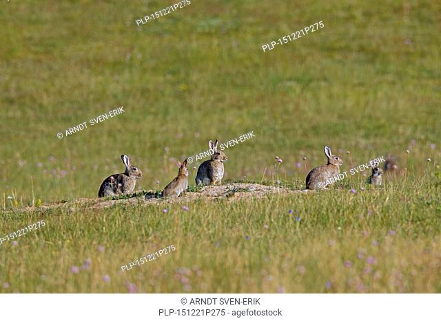 European rabbits / common rabbit (Oryctolagus cuniculus) group with juveniles sitting in front of burrow / warren entrance in meadow