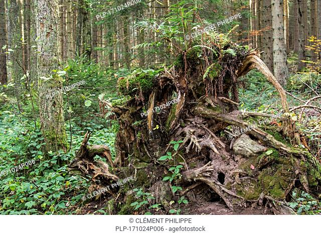Uprooted spruce tree exposing its tree roots due to high winds in forest