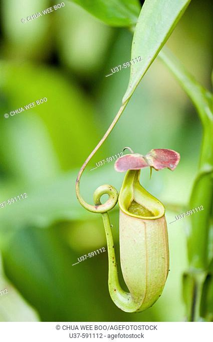 Nepenthes. Pitcher Plant's Garden, Kota Sentosa, Sarawak, Malaysia