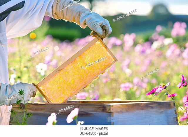 Beekeeper removing frame from beehive in field full of flowers