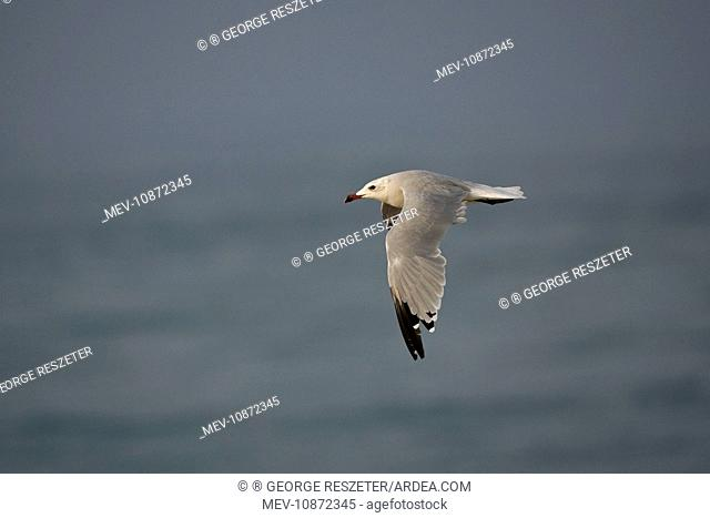 Audouin's Gull in flight (Larus audouinii). Tarifa Southern Spain September
