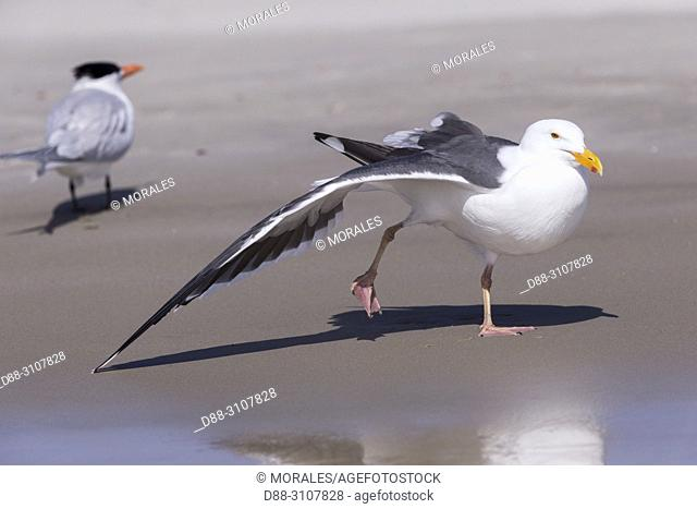 Central America, Mexico, Baja California Sur, Puerto San Carlos, Magdalena Bay (Madelaine Bay), . Western gull (Larus occidentalis), stretches a wing
