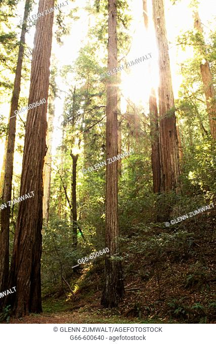 Sun light in the redwoods, Montgomery Woods State Reserve