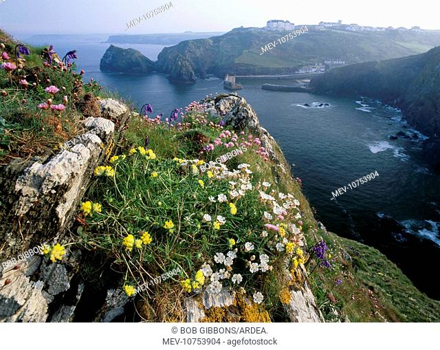 CORNWALL - flowers Red Campion and Kidney Vetch growing on rock cliff in Spring. (Spring flowers)