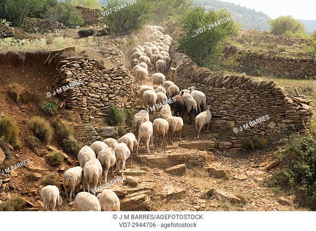 Sheep flock near La Iglesuela del Cid, Alto Maestrazgo, Teruel province, Aragon, Spain
