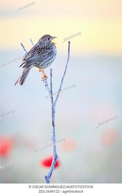 Corn Bunting (Emberiza calandra) singing on branch. Lleida province. Catalonia. Spain