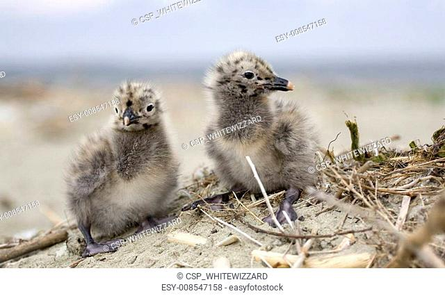 Cute seagulls on K island, Romania