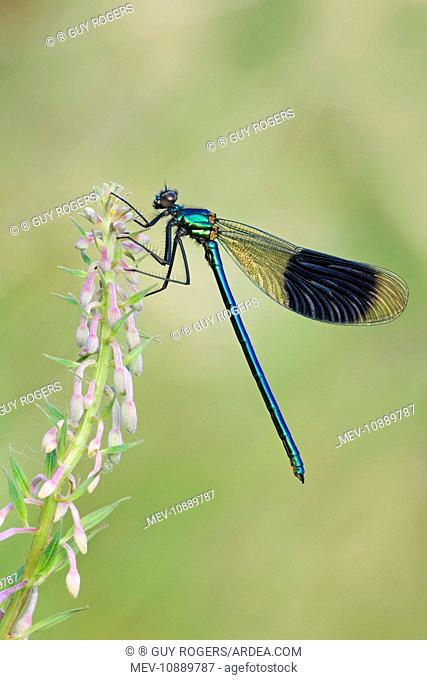 Banded Demoiselle - damselfly resting on willowherb (Calopteryx splendens). Cannock Chase - Staffordshire - England