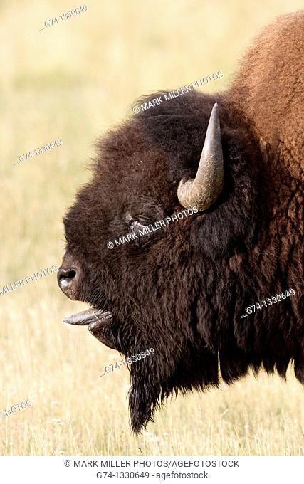 Bellowing Bull Bison