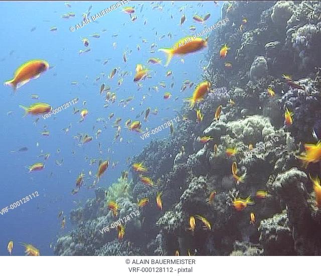 Medium shot Anthias on reef wall. Dahab, Red Sea, Egypt