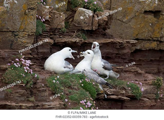 Northern Fulmar (Fulmarus glacialis) three adults, calling, sitting on cliff ledge, Orkney, Scotland, June