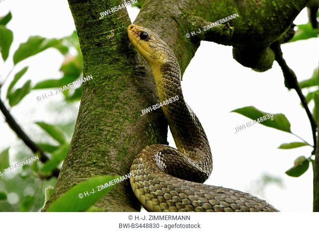 Aesculapian snake (Elaphe longissima, Zamenis longissimus), in a tree, portrait, Germany
