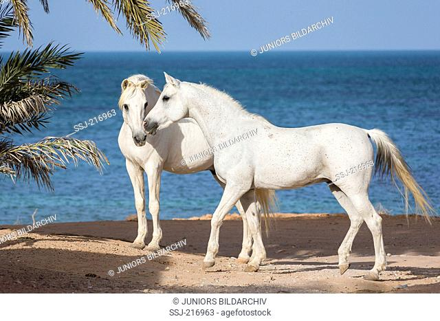 Arab and Barb Horse. Pair of gray stallions standing on a beach. Tunisia