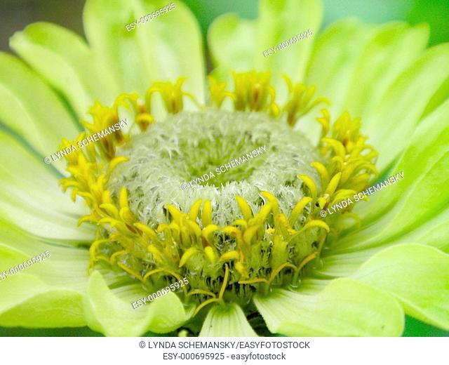 Green zinnia 'Envy'