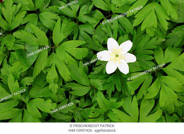 Wood anemones, anemone nemorosa, Switzerland