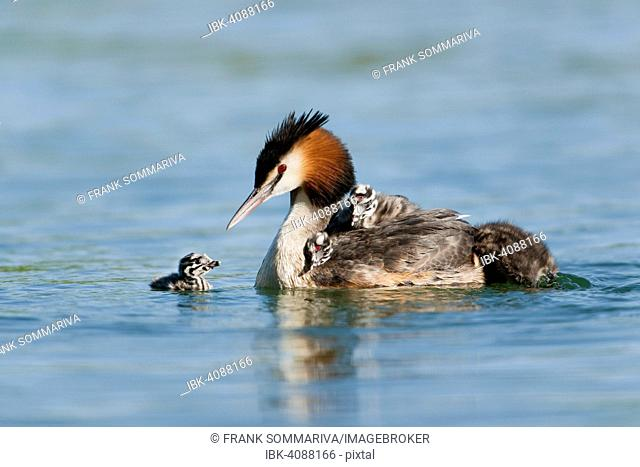 Great Crested Grebe (Podiceps cristatus), adult and chicks, Thuringia, Germany