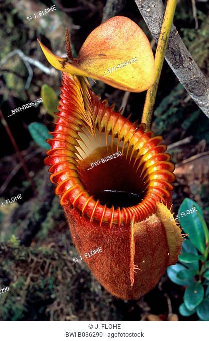 pitcher plant (Nepenthes villosa), tubular shaped leaf, Malaysia, Borneo, Mount Kinabalu