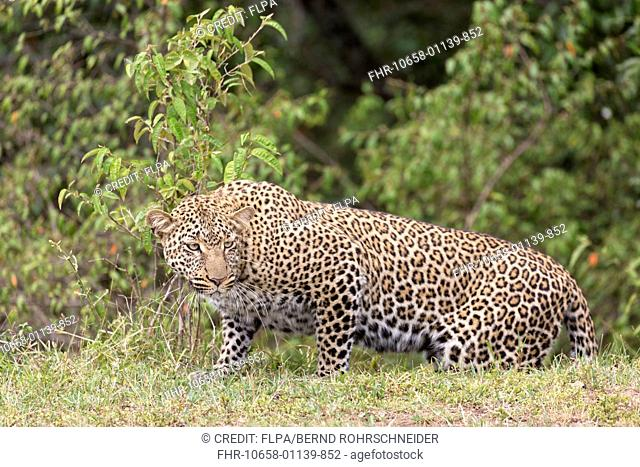 African Leopard (Panthera pardus pardus) adult, stalking at edge of undergrowth, Maasai Mara National Reserve, Kenya, August