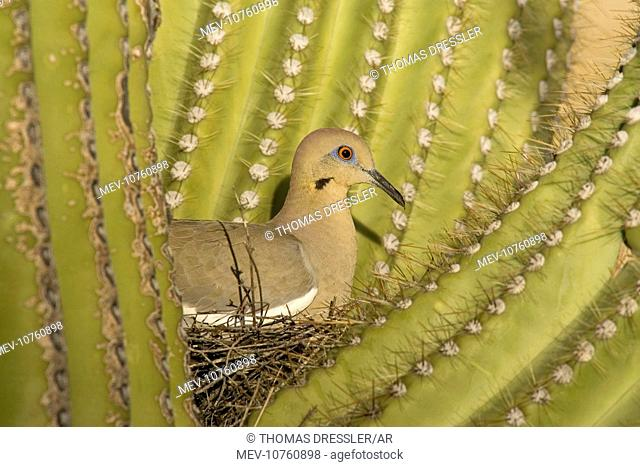 White-winged Dove - Sitting on the nest which is well protected by the spines of a Giant Saguaro cactus (Carnegiea gigantea). (Zenaida asiatica)