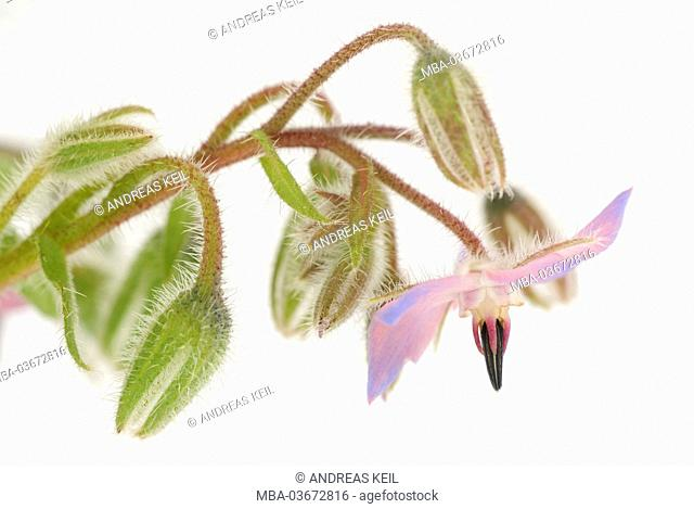 Borage, Borago officinalis, blossoms