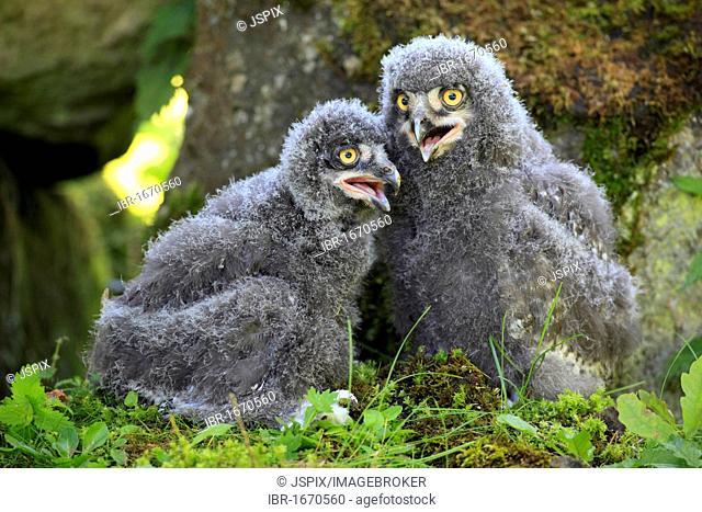 Snowy Owls (Nyctea scandiaca), two fledglings callingtdoors, outside, ornithology, zoology, color, colour